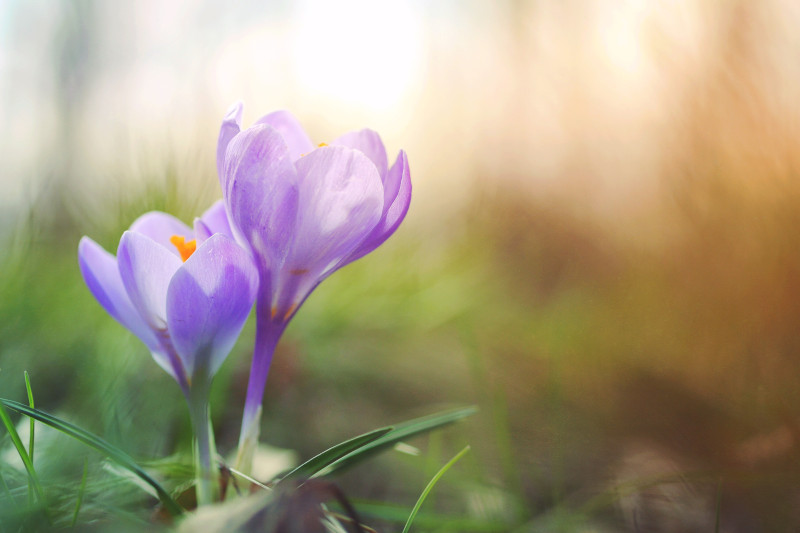 Crocus pair bloom par Aaron Burden